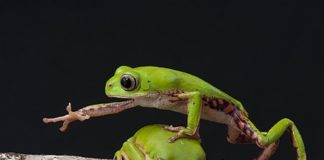 Frog Jump- Renato Augusto Martins Own Work by Wikipedia